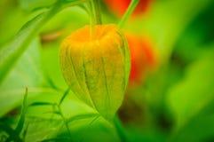 Physalis angulata Hervorragende bunte Beschaffenheiten des Schwellenkelchs die schönes grünes Muster, bedeckte Frucht nach innen Stockfotografie