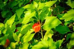 Physalis angulata Hervorragende bunte Beschaffenheiten des Schwellenkelchs die schönes grünes Muster, bedeckte Frucht nach innen Stockfotos