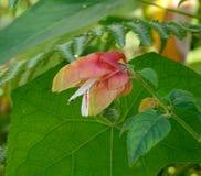 Physalis angulata plants and flowers Royalty Free Stock Image