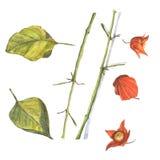 Physalis avec des feuilles Images libres de droits