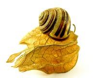 Physalis avec l'escargot Photographie stock