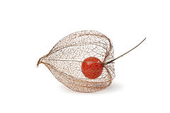 Physalis berry in Autumn Stock Photography