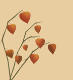 Physalis branches. Stock Images