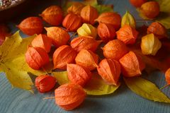 Physalis or Chinese Lantern Plants and maple leaves. Natural colorful autumn decorations: Physalis alkekengi and leaves Stock Image