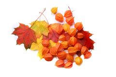 Physalis or Chinese Lantern Plants and maple leaves  on white background. Natural colorful autumn decorations: Physalis alkekengi and leaves Stock Photo