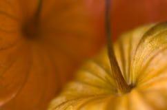 Physalis closeup Stock Photography