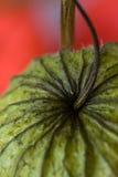 Physalis closeup Stock Photo
