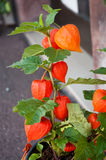 Physalis. Closeup of PHYSALIS - orange lantern flowers royalty free stock photo