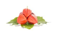 Physalis coloré sur des feuilles Photo libre de droits
