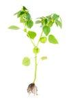 Physalis con il fiore, il germoglio, la lanterna e la radice isolati su fondo bianco Fotografia Stock