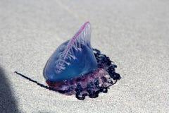 Physalis das medusa ou do Physalia Fotografia de Stock Royalty Free