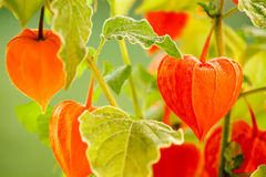 Physalis Stock Photo