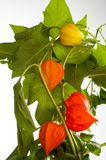 Physalis. For the European shrub also called ground cherry, Prunus fruticosa royalty free stock image