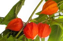 Physalis. For the European shrub also called ground cherry, Prunus fruticosa royalty free stock photos