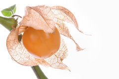 Physalis, fresh fruit at the plant Stock Image