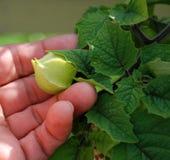 Physalis fruit Stock Image
