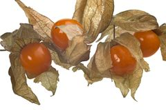 Physalis Royalty Free Stock Photo