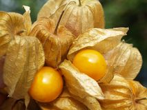 Physalis. Fruit with fruiting bodies (consumption presentation stock image