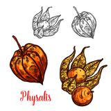 Physalis fruit or ground cherry berry sketch. Physalis fruit sketch of flowering plant berry. Ripe orange ground cherry, cape gooseberry or golden berry with royalty free illustration