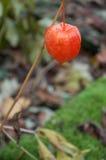 Physalis in a garden in autumn Stock Photo