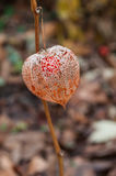 Physalis in a garden in autumn Stock Photography