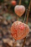 Physalis in a garden in autumn Royalty Free Stock Photos