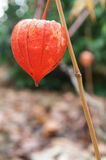 Physalis in a garden in autumn Stock Image