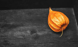 Physalis on a gray background Stock Image