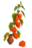Physalis, isolated Royalty Free Stock Image