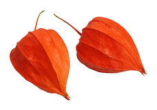 Physalis, isolated Stock Images