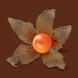 Physalis isolated from the background Stock Photos