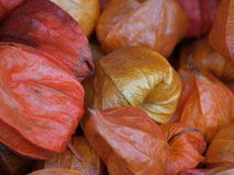 Physalis lantern plant. Collection of dried Physalis lantern plant fruids Royalty Free Stock Photo