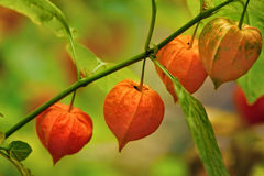 Physalis, lanternes chinoises Photo stock