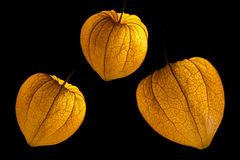 Physalis lanterns Royalty Free Stock Photos