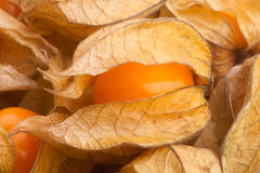 Physalis Royalty Free Stock Images