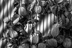 Physalis med sidor på en svartvit träbakgrund Arkivfoton