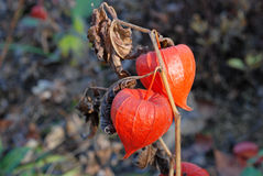Physalis. Orange physalis, beautiful, closeup on blurred background Royalty Free Stock Image