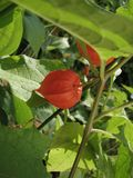 Physalis orange lumineux parmi les feuilles vertes photo stock