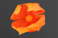 Physalis peruviana Cape Gooseberry Royalty Free Stock Photography