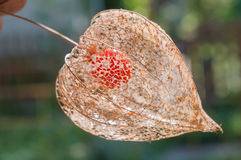 Physalis peruviana lantern. inca berry. Close-up stock photography
