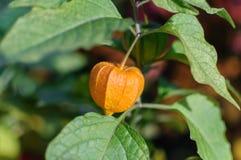 Physalis peruviana nel giardino Fotografia Stock Libera da Diritti
