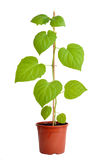 Physalis plant Royalty Free Stock Photo