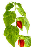 Physalis plants or Chinese Lantern Plants Royalty Free Stock Photography