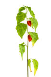 Physalis plants or Chinese Lantern Plants Stock Images