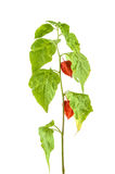 Physalis plants or Chinese Lantern Plants Stock Photos