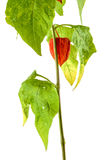 Physalis plants or Chinese Lantern Plants Royalty Free Stock Images
