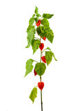 Physalis plants or Chinese Lantern Plants. In Latin Physalis alkekengi- on the branch. Closeup view of Physalis plant. Early autumn view of flowering Physalis Royalty Free Stock Photos