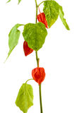 Physalis plants or Chinese Lantern Plants. In Latin Physalis alkekengi- on the branch. Closeup view of Physalis plant. Early autumn view of flowering Physalis Stock Images