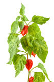 Physalis plants or Chinese Lantern Plants. In Latin Physalis alkekengi- on the branch. Closeup view of Physalis plant. Early autumn view of flowering Physalis Royalty Free Stock Image