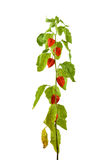 Physalis plants or Chinese Lantern Plants. In Latin Physalis alkekengi- on the branch. Closeup view of Physalis plant. Early autumn view of flowering Physalis Royalty Free Stock Images